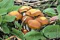 2013-10-30 Psilocybe cyanescens Wakef 380750.jpg