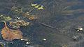 2014.07.11.-02-Eilenburg Hainichen--Stabwanze-Ranatra linearis-unter Wasser.jpg