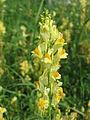 20140908Linaria vulgaris1.jpg