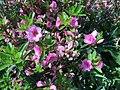 2015-05-12 10 54 29 Azalea 'Rosebud' flowers starting to open on Terrace Boulevard in Ewing, New Jersey.jpg