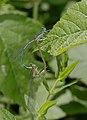 2015.08.01.-01-Baggersee-Bruehl--Blaue Federlibelle-Paarungsrad.jpg