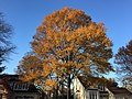 2017-11-29 15 17 25 A Willow Oak in late autumn along Kinross Circle in the Chantilly Highlands section of Oak Hill, Fairfax County, Virginia.jpg
