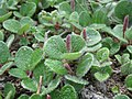 20170603 Salix reticulata.jpg