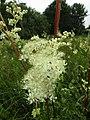 2018-07-11 Fern-leaf Dropwort (Filipendula vulgaris), Southrepps common.JPG