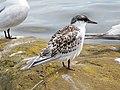 2020-07-18 Thalasseus sandvicensis, St Marys Island, Northumberland 11.jpg