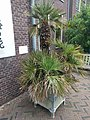20210605 Hortus botanicus Leiden - Chamaerops humilis.jpg