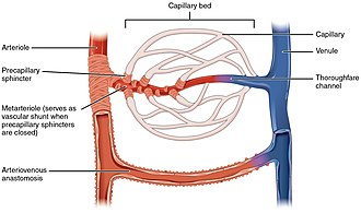 Metarteriole - Illustration of a capillary system with metarterioles and precapillary sphincters, as is present in the mesenteric microcirculation.