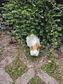 22-6-20 Guinea pig in garden Laura Pernigoni.jpg