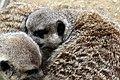 50 Jahre Knie's Kinderzoo - Suricata suricatta (Erdmännchen) 2012-10-03 16-32-00.JPG