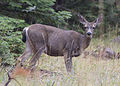 5243 black-tailed doe swingle odfw (8122807335).jpg