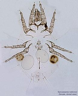 <i>Sancassania</i> genus of Arachnida