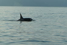 A killer whale with a tall, sharply pointed dorsal fin. Its saddle and eye patches are dark grey.