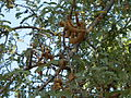 A aesthetic Tamarind tree.JPG