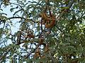 A aesthetic Tamarind tree.JPG