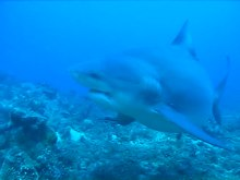 Archivo:A female Carcharhinus leucas at the Shark Reef Marine Reserve, Fiji - pone.0016597.s006.ogv