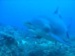 Bull shark - Wikipedia