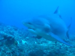 ファイル:A female Carcharhinus leucas at the Shark Reef Marine Reserve, Fiji - pone.0016597.s006.ogv