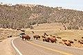 A group of bison cross the road near Specimen Ridge (47797817552).jpg