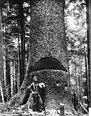 A lumberjack standing at the base of a huge tree showing a cut in the tree, ca.1900 (CHS-3368).jpg