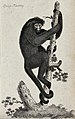 A spider-monkey climbing up a tree. Etching. Wellcome V0021248EL.jpg