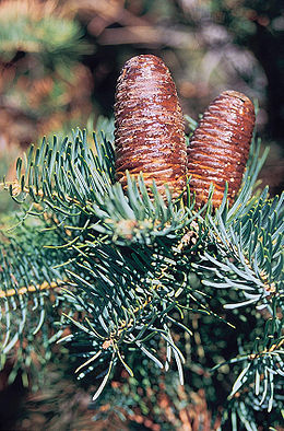 Abies concolor cones.jpg