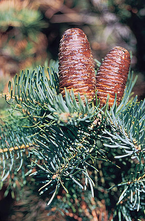 Abies concolor - Foliage and cones of subsp. concolor