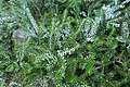 Abies koreana-Jardins de Callunes (3).jpg