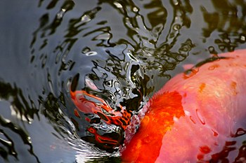 English: Koi fish cliche (abstract)