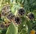 Abutilon grandifolium kz2.JPG