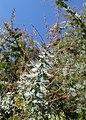 Acacia dealbata kz01.jpg
