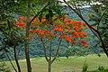 Acacia roja - Flmaboyant (Delonix regia) (14633631853).jpg