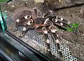 Acanthoscurria geniculata - adult female in terrarium 1.jpg