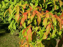 Acer triflorum leaves.jpg