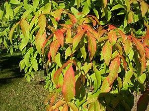 Acer triflorum - Image: Acer triflorum leaves