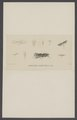 Acrolepia - Print - Iconographia Zoologica - Special Collections University of Amsterdam - UBAINV0274 003 07 0012.tif