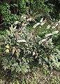 Actaea simplex kz01.jpg