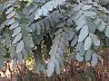 Adenanthera pavonina115.JPG