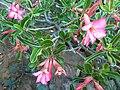 Adenium swazicum, Pretoria.jpg