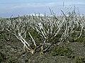 Adenocarpus viscosus 03 ies.jpg
