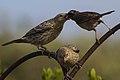 Adult White-crowned Sparrow Feeding Fledgling Brown-headed Cowbird (9324308964).jpg
