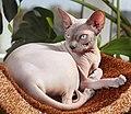 Adult cat Sphynx. img 003.jpg