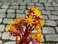 Aeonium leucobleferum PICT0923.jpg