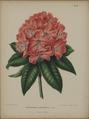 Afbeelding-018-Rhododendron 'Concessum'.tif
