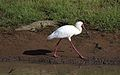 African Spoonbill, Platalea alba, at Pilanesberg National Park, Northwest Province, South Africa (28123173714).jpg