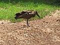 African bird shaking.jpg