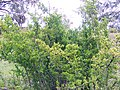 African boxthorn.jpg