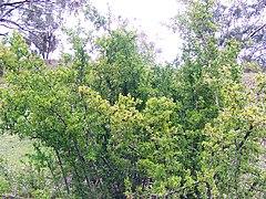 African Boxthorn (Lycium ferocissimum)  אטד