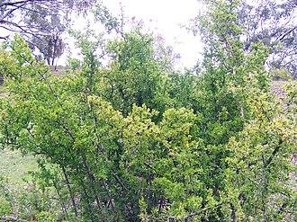 Lycium - African boxthorn (Lycium ferocissimum)
