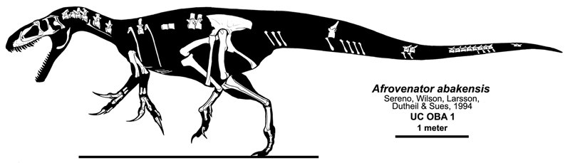 Afrovenator skeleton