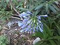 Agapanthus pale blue 02.jpg